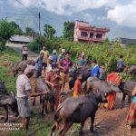 गण्डकी गाउँपालिकामा कृषि समुहलाई उन्नत जातको भैसीको पाडी वितरण